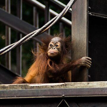 Orangutan Baby by GeorgeSears