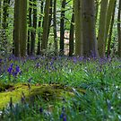Bluebell Wood 7 by SimplyScene