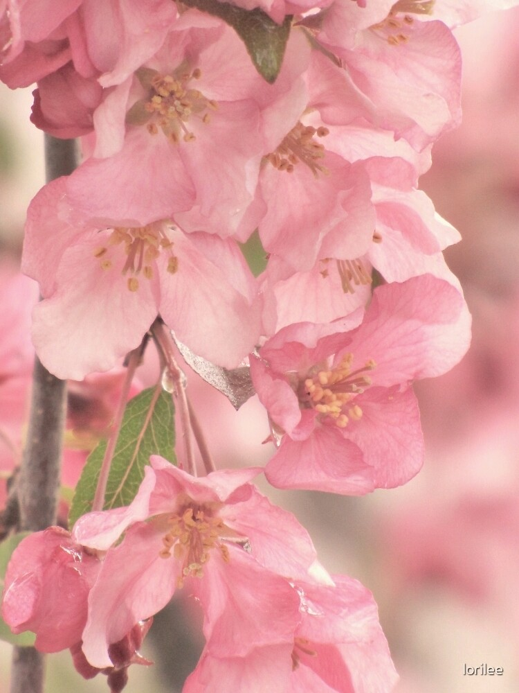 Softly Pink by lorilee