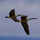 Team Work.... Canada's Geese, Heading North... DAM IT! by Larry Llewellyn
