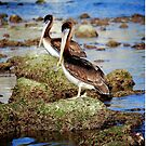 Pelicans so patient by LjMaxx