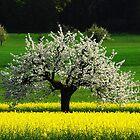 Apple Tree in Spring.....Switzerland by Imi Koetz
