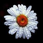 Rain Catcher Daisy by LjMaxx