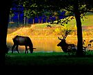 Evening Elk... by LjMaxx
