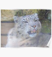Snow Leopard Portrait (Photo Cezanne Style) Poster