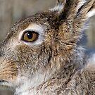 Jack Rabbit by Melissa  Hintz