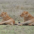 Lions of the Serengeti, Tanzania, Africa (Y) by Adrian Paul