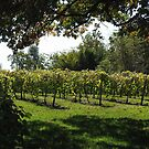 Shadows On My Grape Vine by Linda Miller Gesualdo