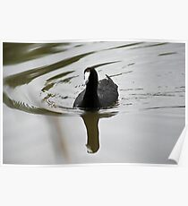 Red-knobbed Coot Poster