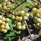 Grapes At The Winery by Linda Miller Gesualdo