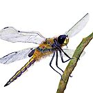 Hairy Dragonfly Insect Watercolor Painting Artwork by Alison Langridge