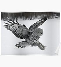 Great Grey owl hunting Poster
