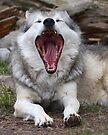Wolf Yawning by WorldDesign