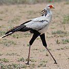Secretary Bird, Serengeti National Park, Tanzania, Africa by Adrian Paul