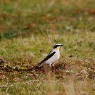 Bird I/D Please?  Great Gray Shrike? by dougie1