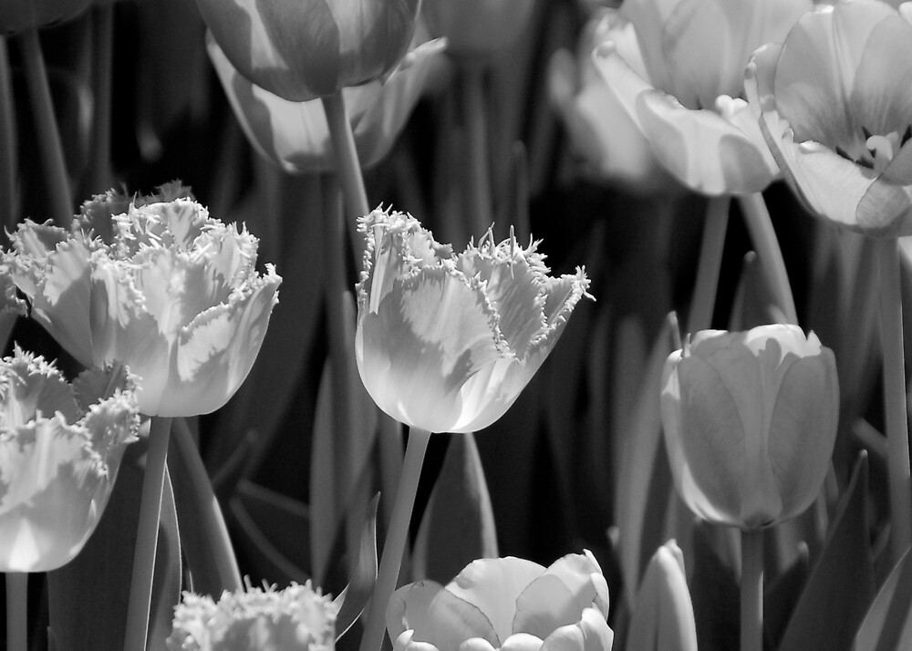 Tulips by pulsdesign
