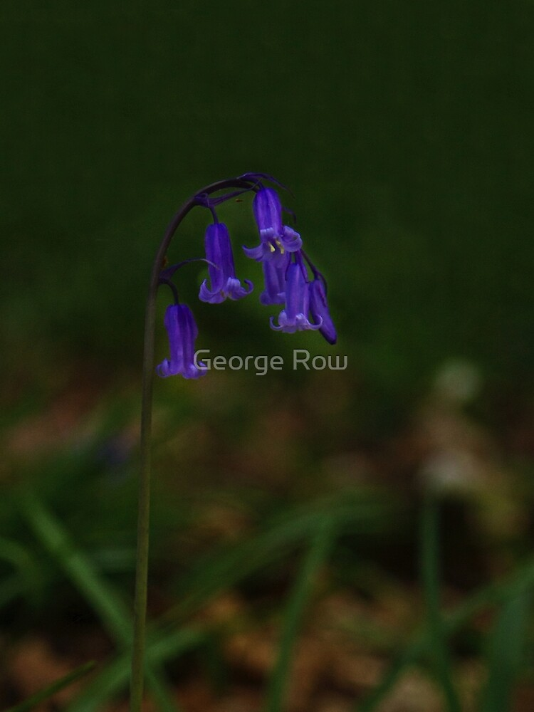 Single Bluebell in Prehen Woods, Derry by VeryIreland