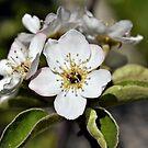 Dwarf Pear Blossom by Len Bomba