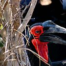 POWERFULL BILL OF THE SOUTHERN GROUND HORNBILL by Magriet Meintjes