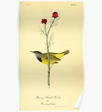 James Audubon Vector Rebuild - The Birds of America - From Drawings Made in the United States and Their Territories V 1-7 1840 - Mourning Ground Warbler Poster