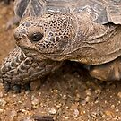 Tortoise in my backyard by Sue  Cullumber