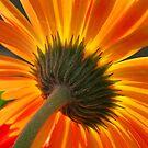 orange sunburst by sue shaw