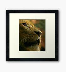 Lion close up waiting for food. Framed Print