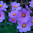 Group of Cosmos in my Drouin garden. by Bev Pascoe