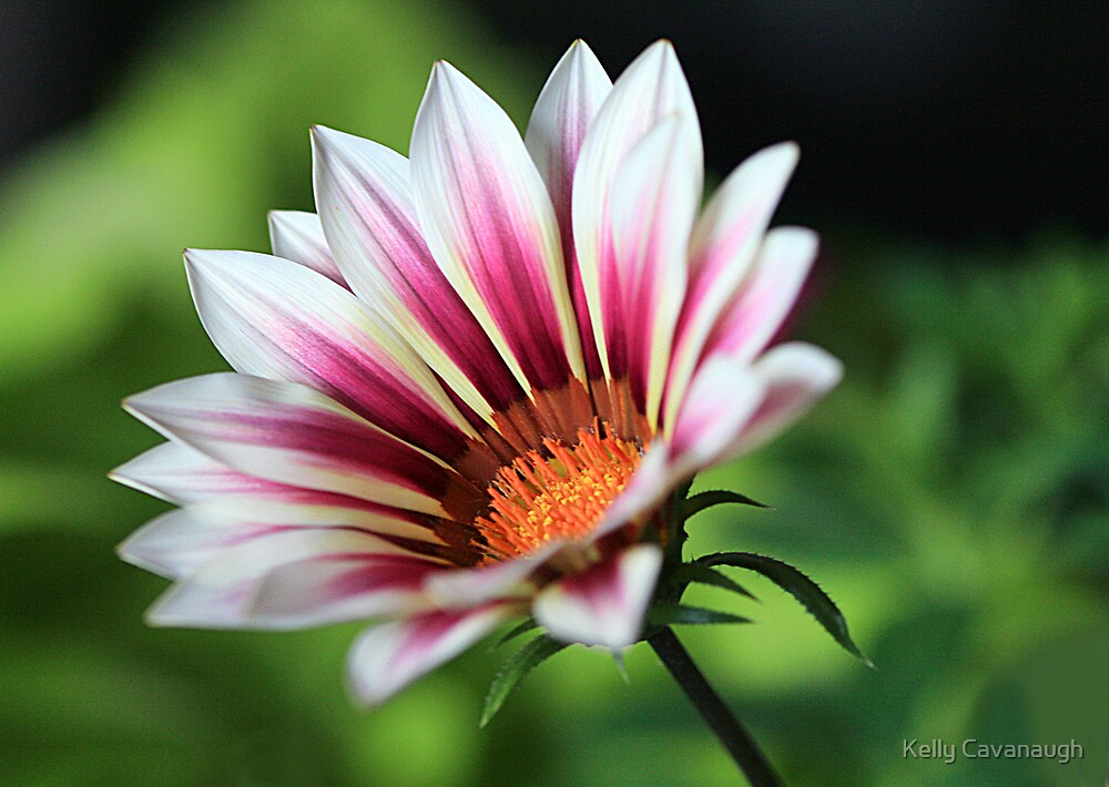 Spring Gazania by Kelly Cavanaugh