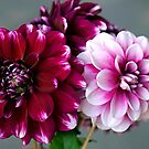 Dahlia duo from same tuber. by Bev Pascoe