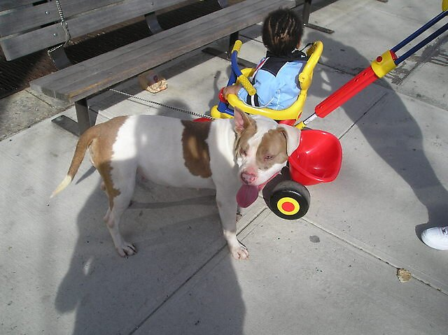 MY APBT Sapphire and my Nephew again by Limitless