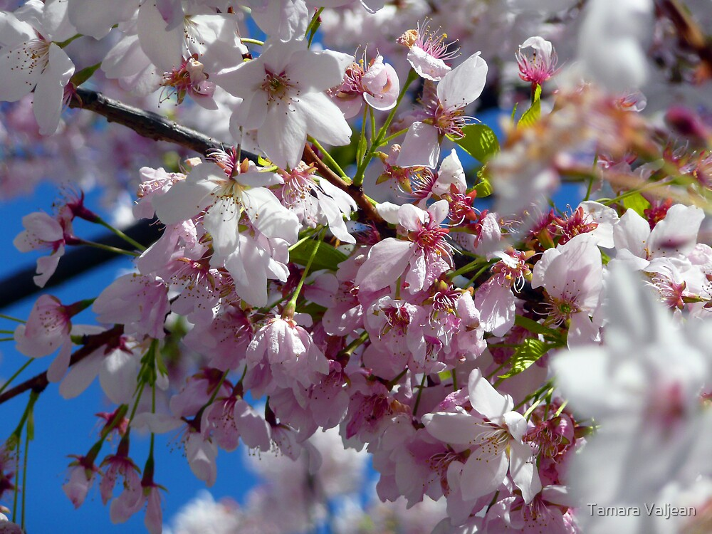 Delicate Blossoms by Tamara Valjean