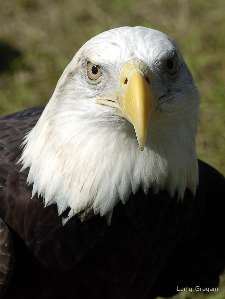 Bald Eagle by Larry  Grayam