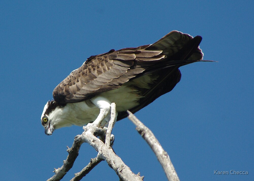 Osprey with Lunch by Karen Checca