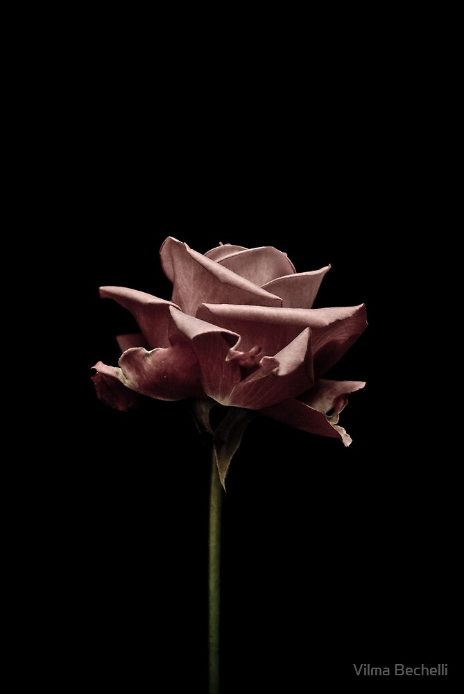 Pink roze by Vilma Bechelli