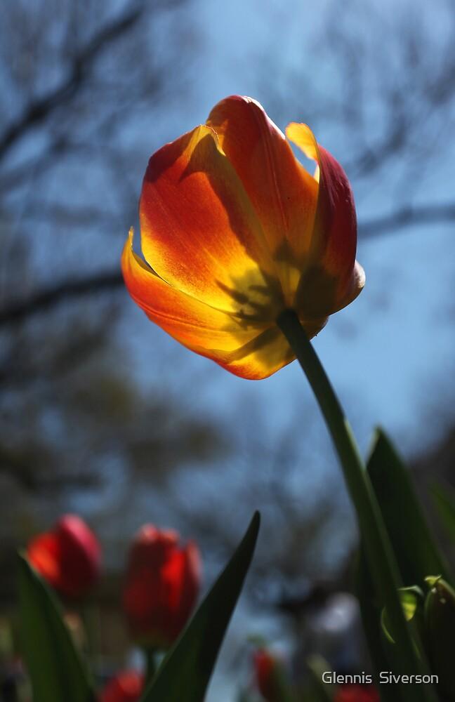 Tulip by Glennis  Siverson