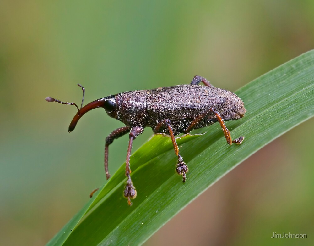 Mondo Weevil by JimJohnson