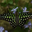 Neon --- Tailed Jay Butterfly by BobJohnson