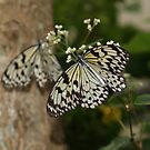 Mirror? ---Paperkite Butterfly by BobJohnson