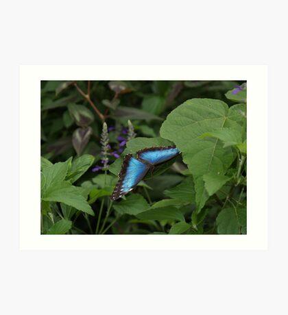 Landing --- Blue Morpho Art Print