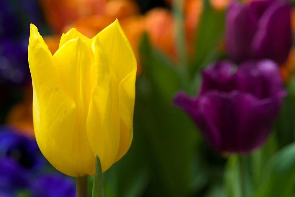 Yellow shades of spring by Farras Abdelnour