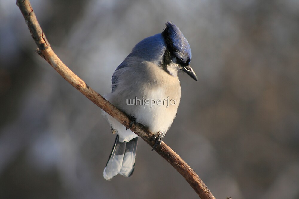 Blue Jay pretend to be shy by whisperjo