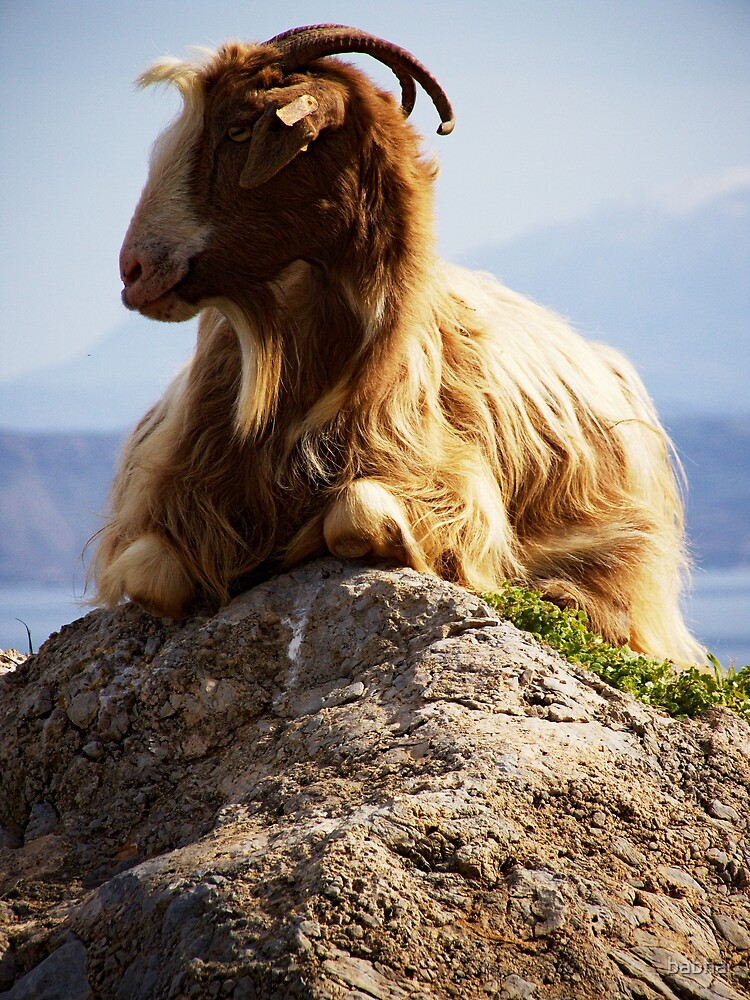king of the goats by babha