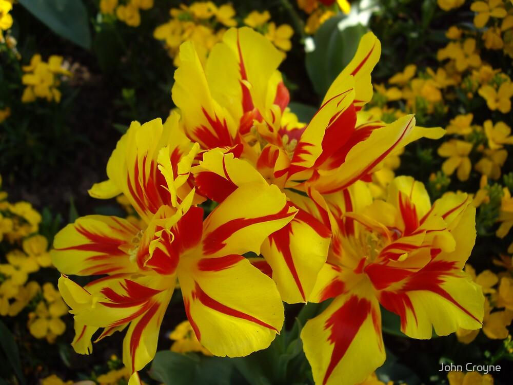 Tulips by John Croyne