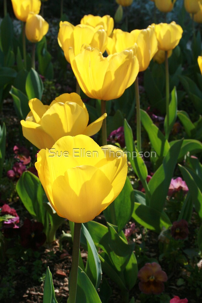 Yellow Tulips by Sue Thompson