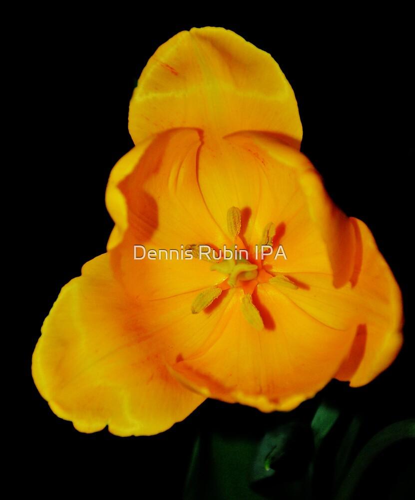 Apricot Tulip by Dennis Rubin IPA