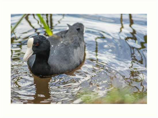 Hawaiian coot 3 by KensLensDesigns