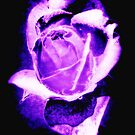 Purple Rose (Black Background) by W E NIXON  PHOTOGRAPHY
