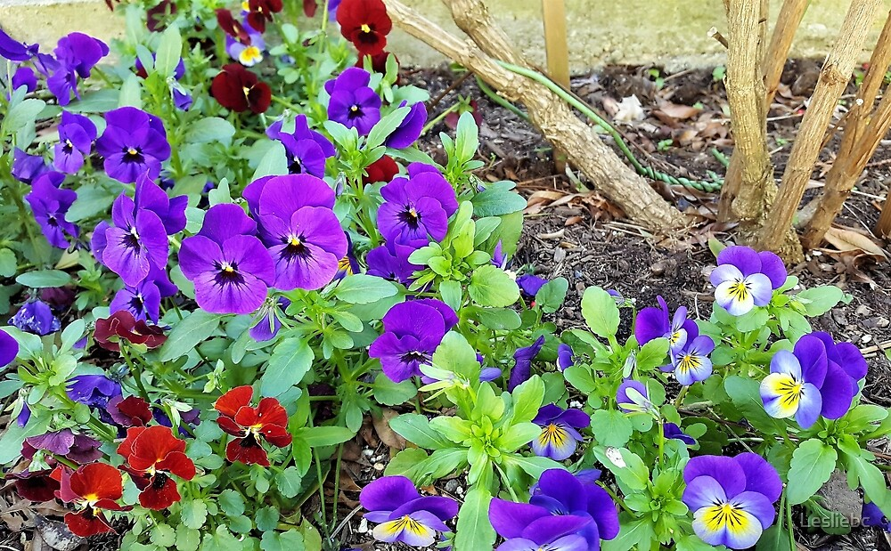 Pansy Garden by Lesliebc