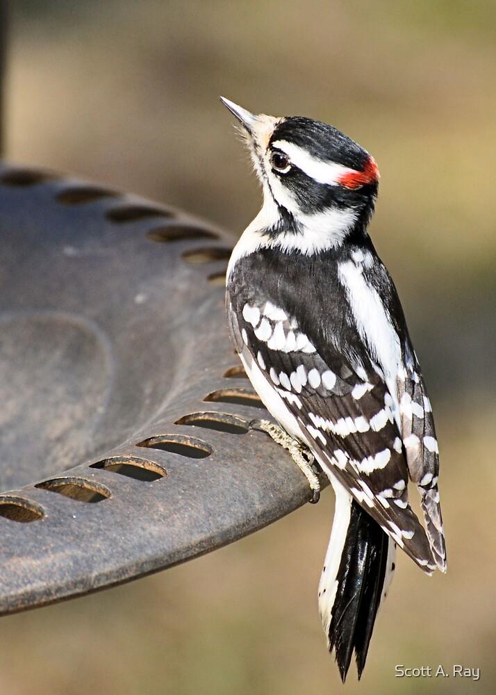 woodpecker by Scott A. Ray